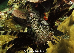 Lion fish by Sara Barbieri 